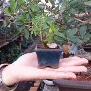 How to Care for Your Indoor Bonsai Tree