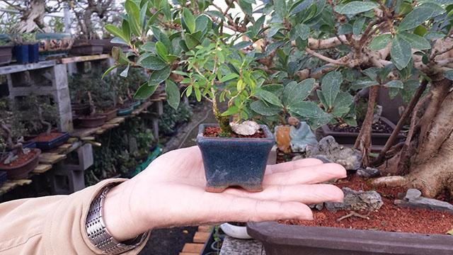 Asia Pacific Gardening | Seattle Indoor Bonsai Tree Supplier